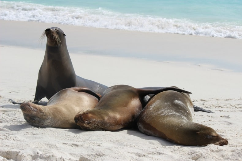 sea lions ready to play while cruising the Galapagos islands