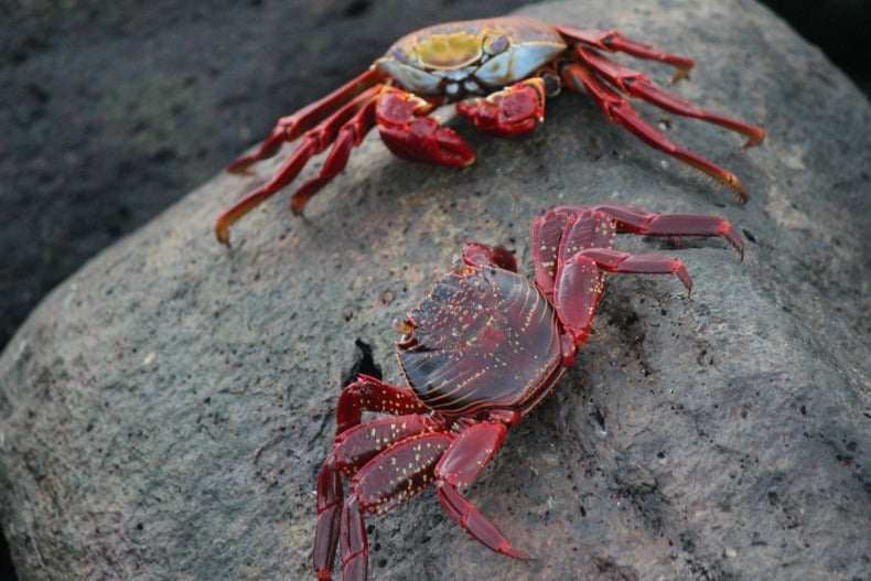 bright red crabs scurry around while cruising the galapagos islands