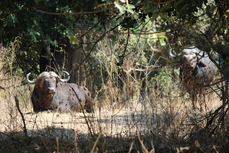 Buffalo hiding in the brush on our jeep safari