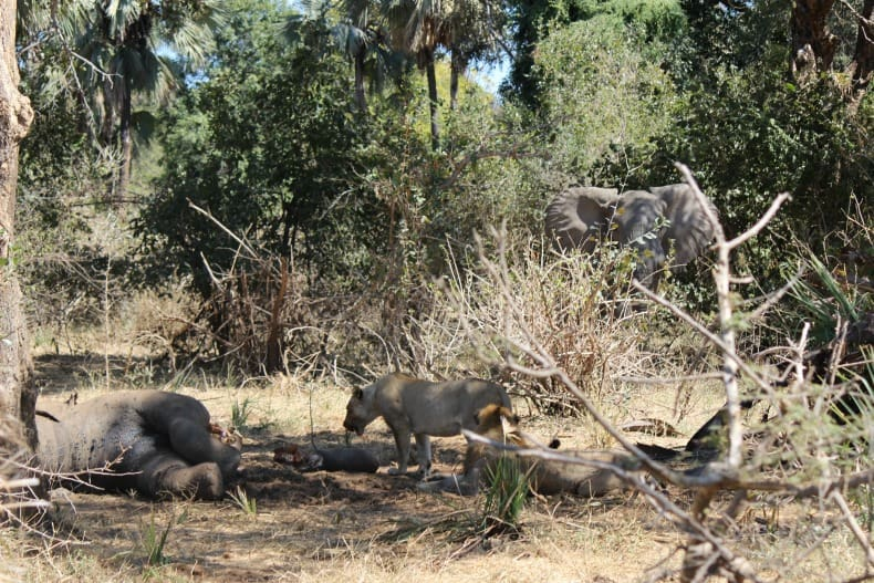 Lions feasting on a dead hippo as seen on our jeep safari