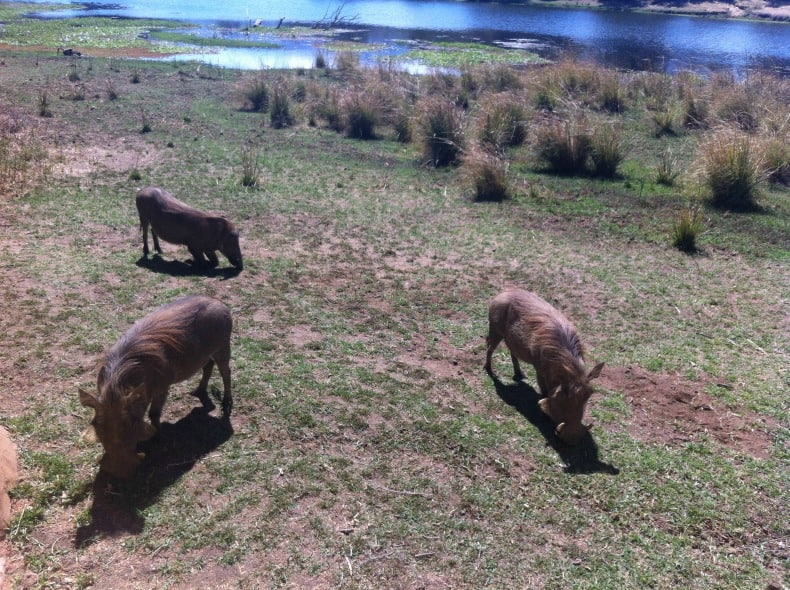 Warthogs on the banks of the Chongwe River