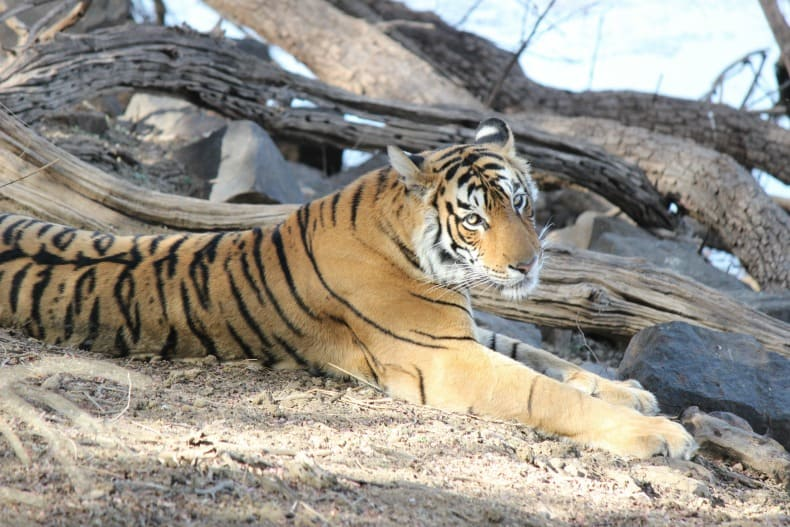 A visit to Ranthambore National Park to see the tigers was amazing.