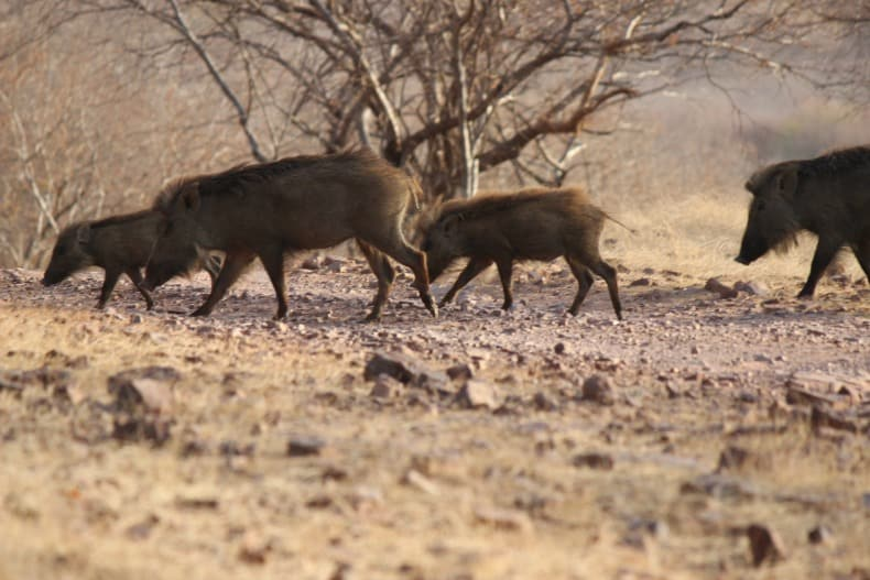 Warthogs spotted on the Ranthambore Safari or Tiger Safari in India