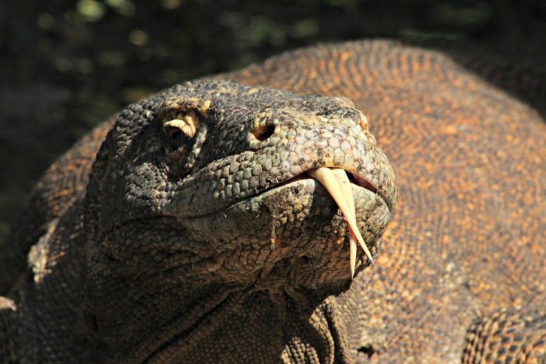 Komodo dragons near Indonesia volcano