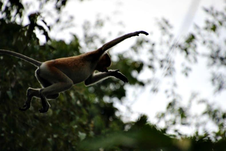 jumping monkey on Borneo ecotour