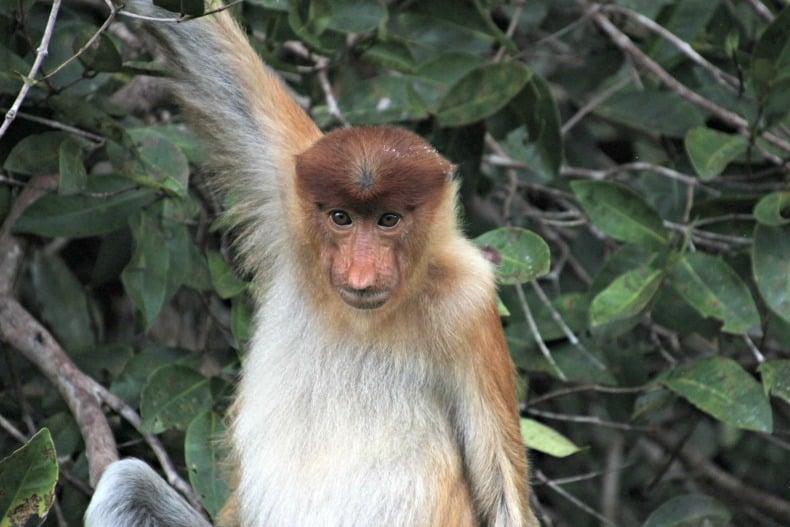 proboscic monkey on borneo ecotour