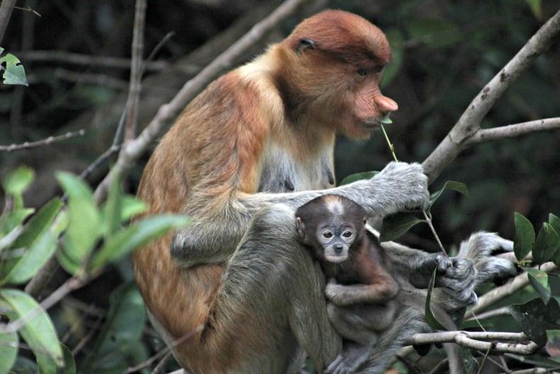 proboscis monkey on borneo ecotour