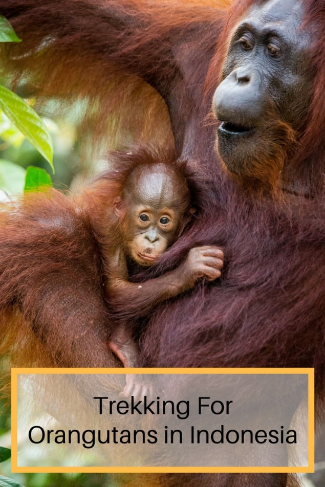Exploring the jungles of Borneo for orangutans with my family was a magical experience. Here's why. #Indonesia #Borneo #Asia #travel #familytravel #travelwithkids | bananas, Camp Leakey, crocodile, feeding centre, Kalimantan, long tail macaque, monkeys, orangutans, organutan rehabilitation centre, park rangers, proboscis, Rimba, Sekonyer River, silver langur, Storm's Storks, Tanjung Puting, Tomistominae