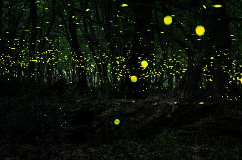 lightning bugs in Borneo Indonesia