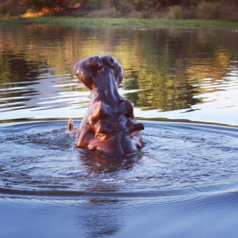 hippo erupting out of the water on our sunset cruise safari