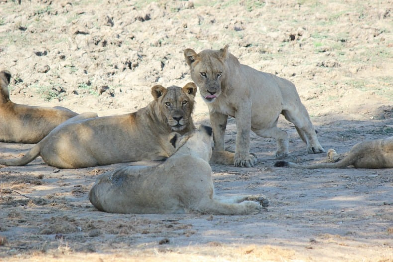 More lions on our jeep safari