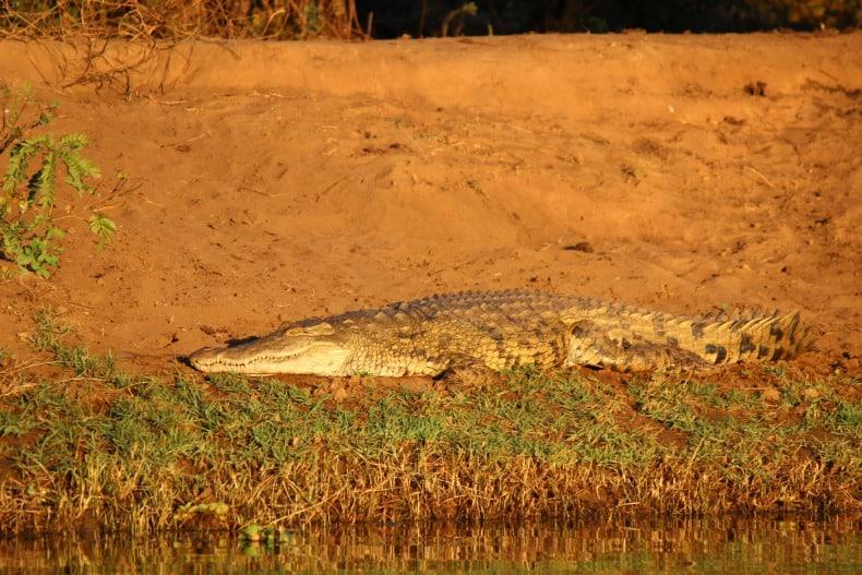 Crocodiles along the Chongwe River