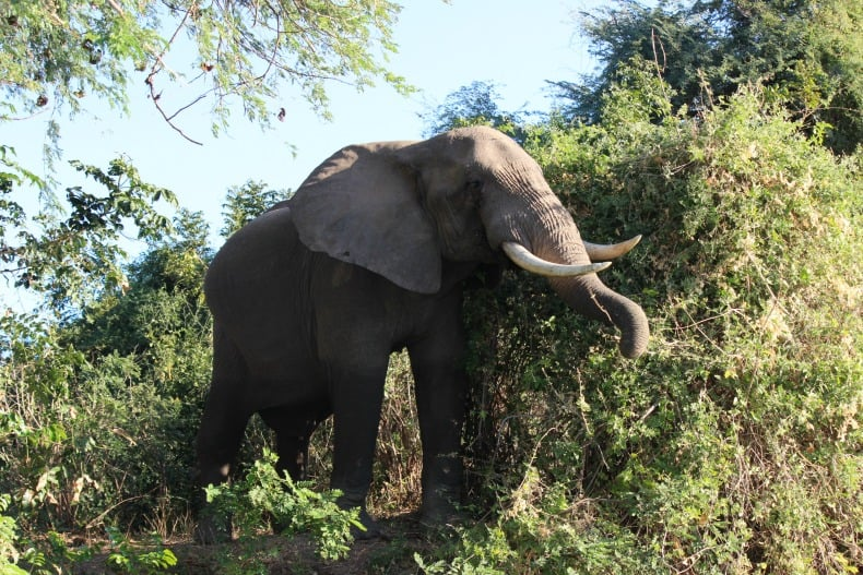 An elephant along the banks of the Chongwe River