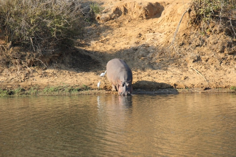 Hippo on the Chongwe River while we head out on our sunset cruise safari