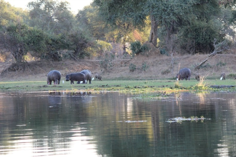 Hippos along the Chongwe River