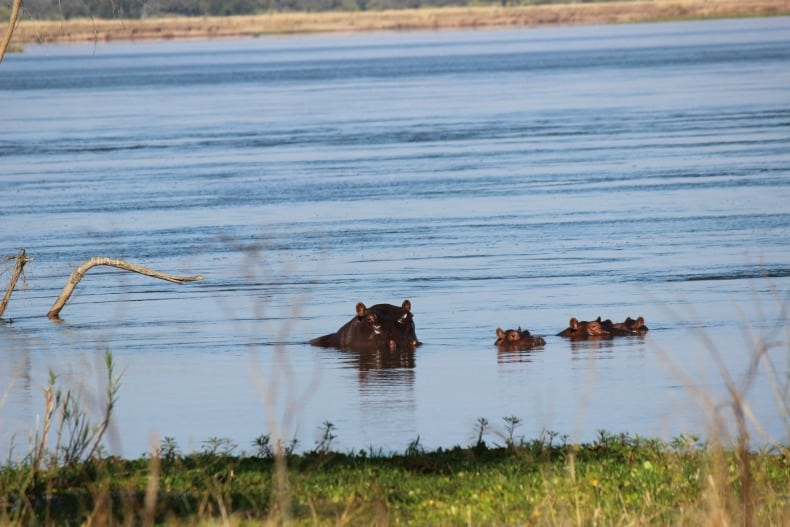 Mother and baby hippos watching us on our walking safari