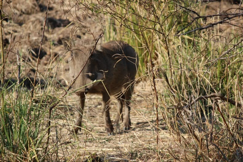 A warthog hiding in the brush on our jeep safari