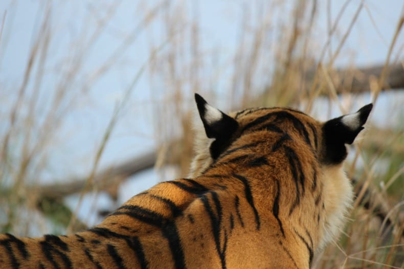 Ranthambore National park, India, Tigers, Sher Bagh