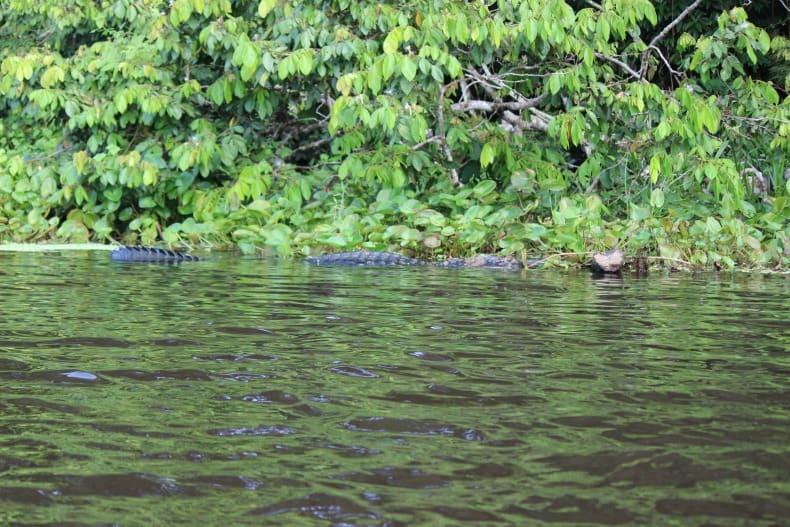An enormous caiman in Anangu Lake at Napo Wildlife Centre
