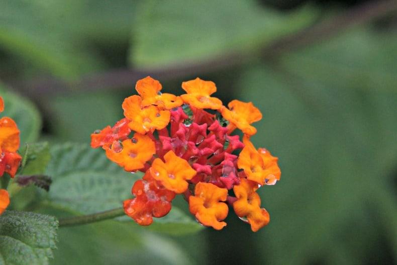 Beautiful flowers below the Indonesia volcano