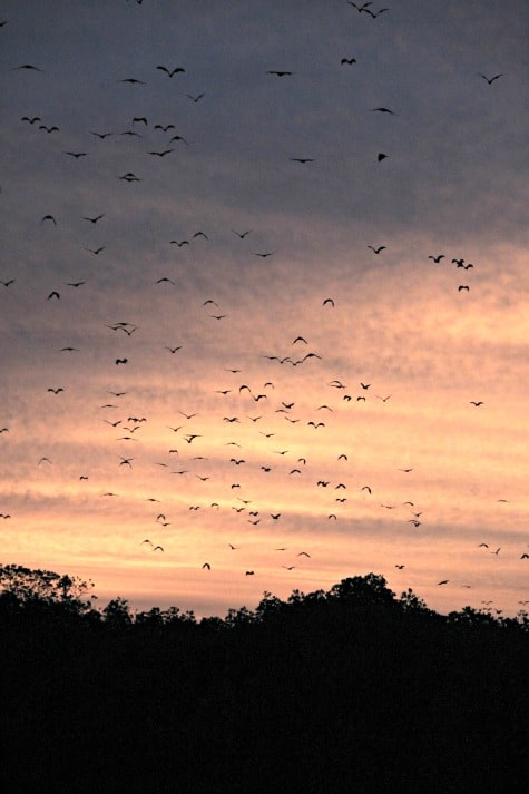flying foxes after Komodo dragons, Indonesian Adventure