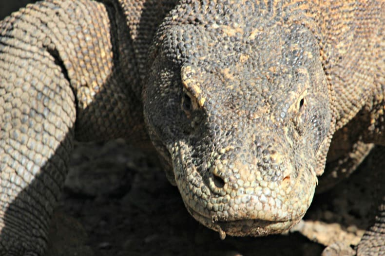 Komodo dragon in Komodo National Park.
