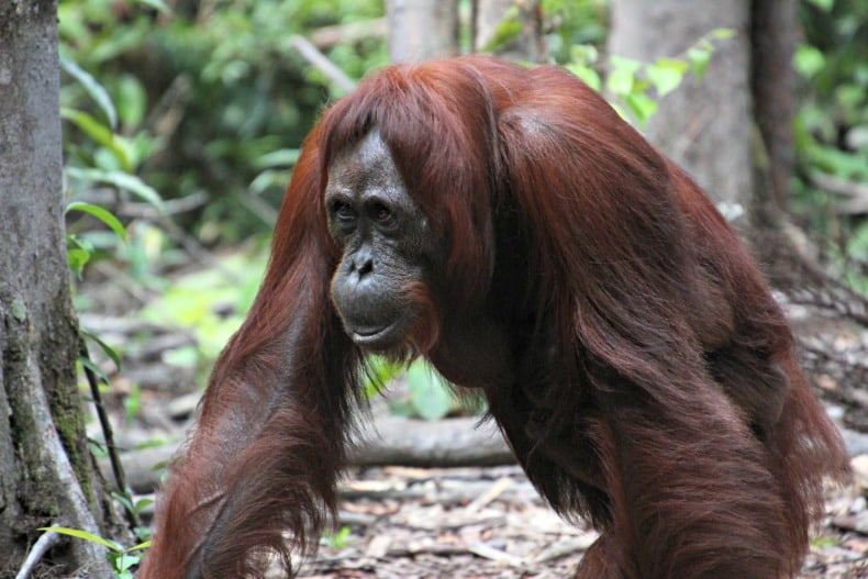 orangutan on Borneo ecotour