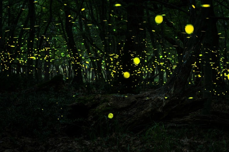 lightning bugs in Borneo Indonesia