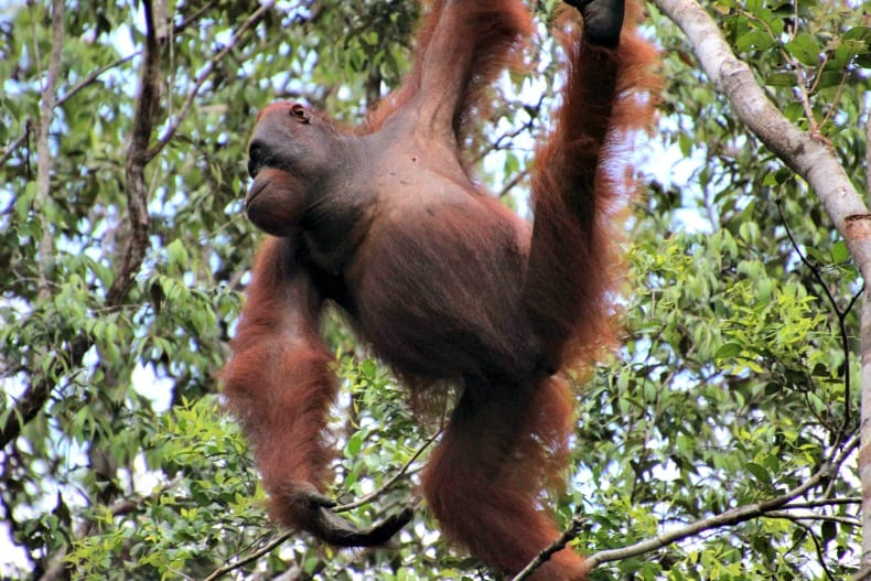 orangutans